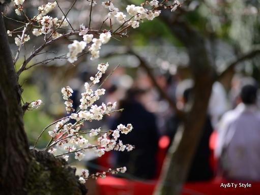 梅祭り 湯島天神