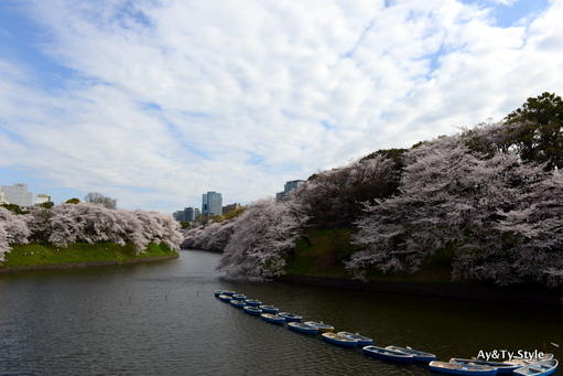 千鳥ヶ淵 桜 2013
