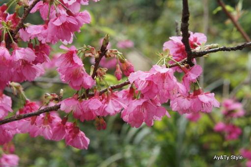 沖縄で一般的なヒカンサクラ(カンヒサクラ)。